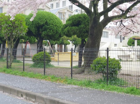 sakura chirihajime04817 (3)
