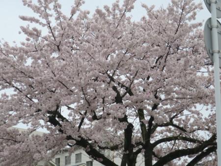 sakura chirihajime04817 (4)