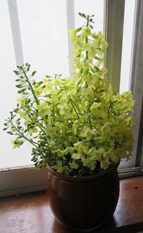 菜の花12
