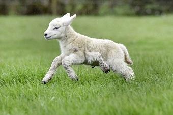 5本足の元気な子羊