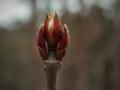 ミヤマガマズミの芽