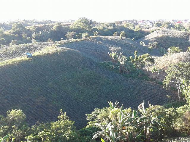 パイナップルの丘