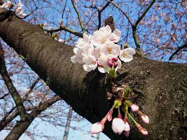 桜開花20170406