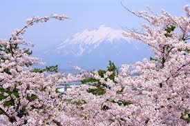 岩木山と満開の桜