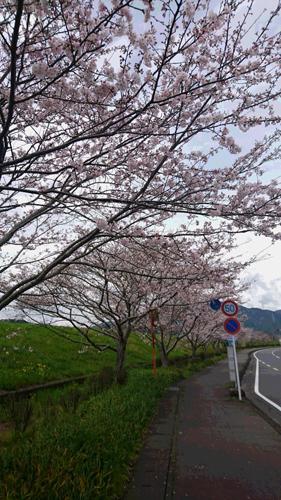 新間桜並木
