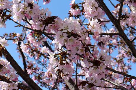 桜もたくさん