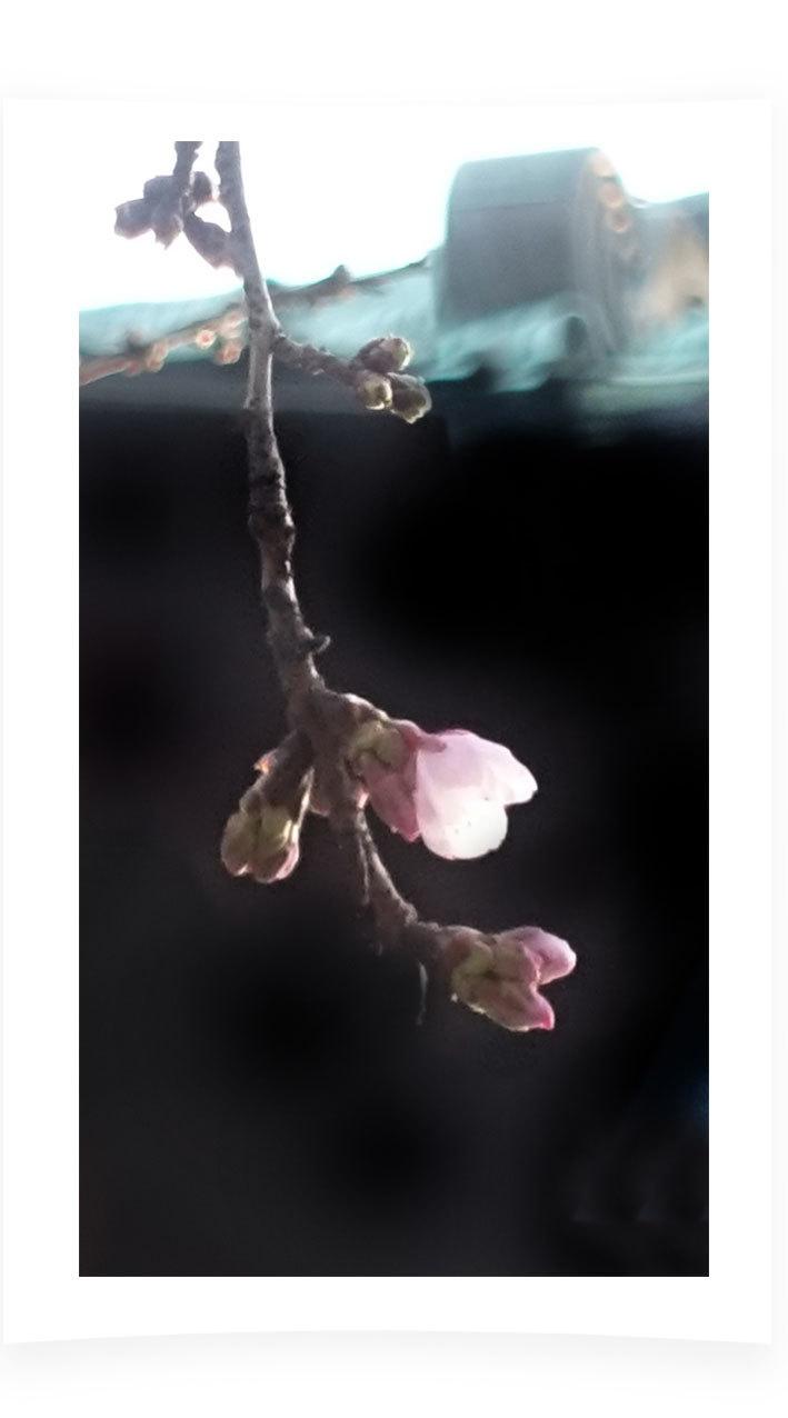 初咲きの寒桜