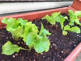 サラダ植木