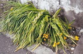 三つ編みの草と花八丁畷