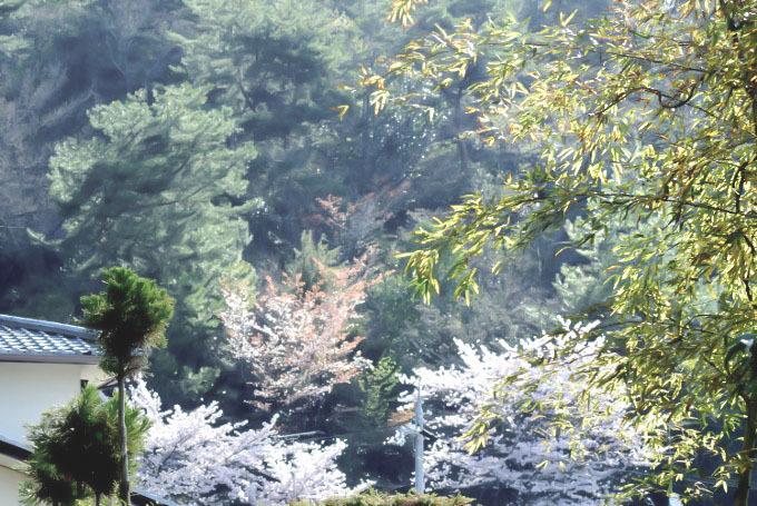朝もやの桜