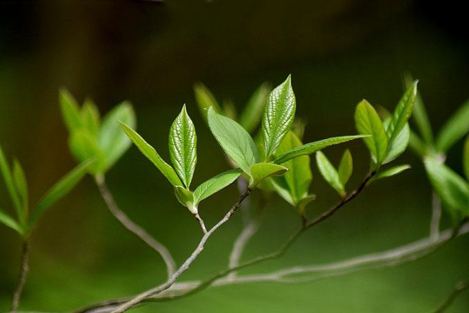 沙羅の新芽