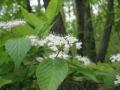 ガマズミの白い花