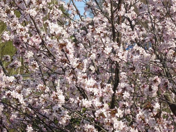 蝦夷山桜 枝