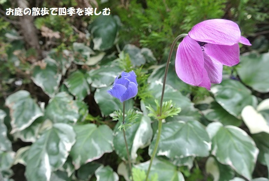 anemone17.jpg