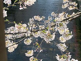 目黒川桜2