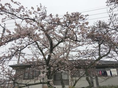 びわ湖大橋米プラザのサクラ(4月7日16時頃)