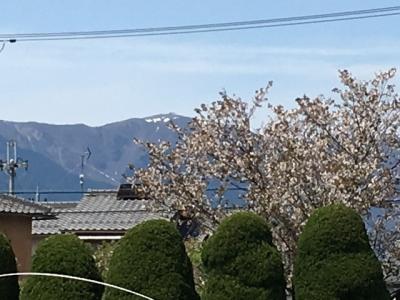 残りわずかになった比良山の雪とびわ湖大橋米プラザのサクラ(4月22日13時頃)