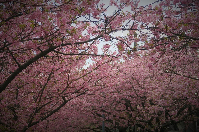 2017河津桜 桜のトンネル(2)