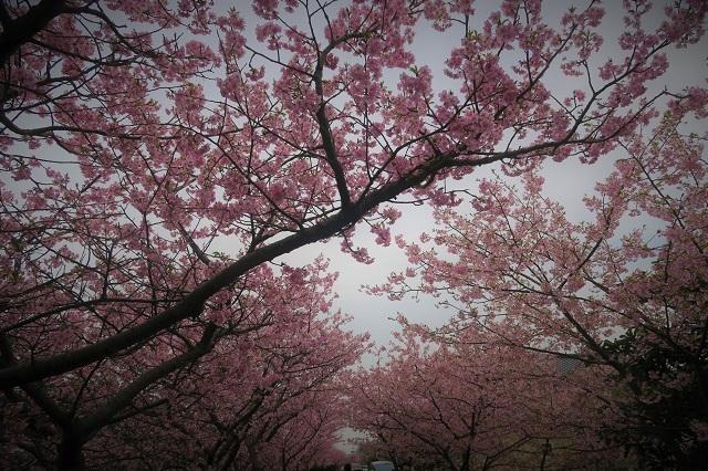 2017河津桜 桜のトンネル(3)
