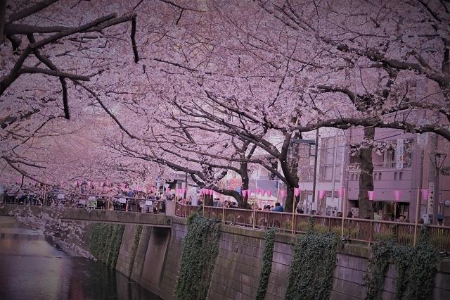 2017年 目黒川の桜(2)