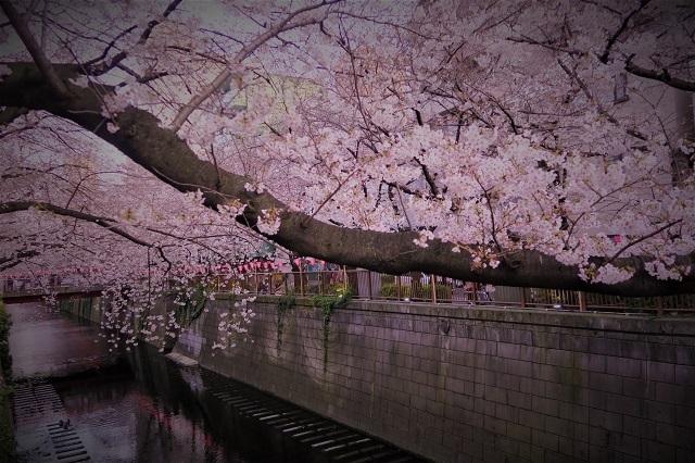2017年 目黒川の桜(3)