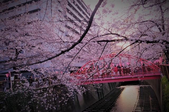 2017年 目黒川の桜(5)