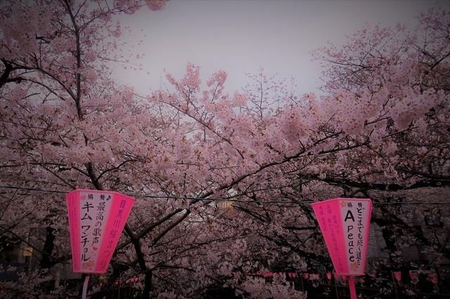 2017年 目黒川の桜(6)
