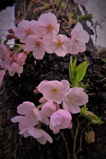 2017年 目黒川の桜(7)