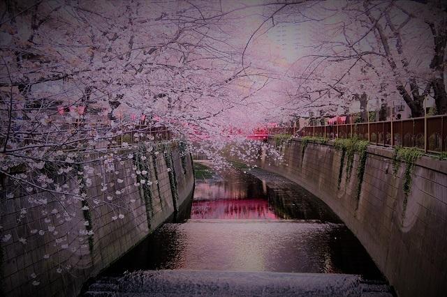 2017年 目黒川の桜(1)
