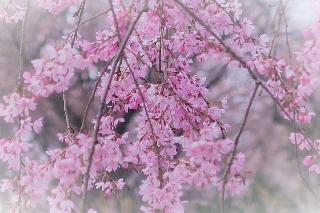 2017三ッ池公園の桜(8)
