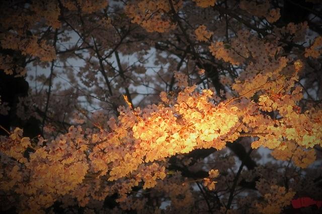 2017権現堂堤さくら祭り 夕暮れの桜(1)