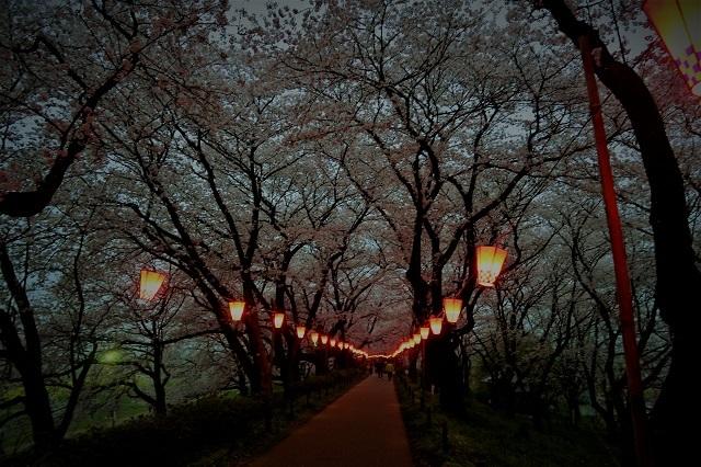 2017権現堂堤さくら祭り 夕暮れの桜(2)