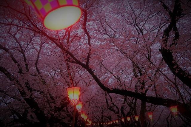 2017権現堂堤さくら祭り 夕暮れの桜(5)