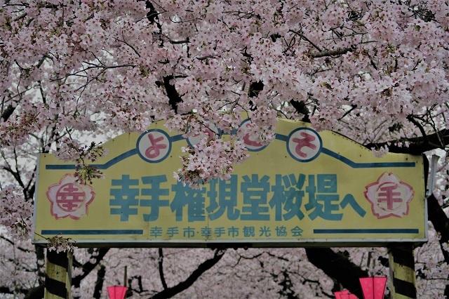 2017年 幸手 権現堂堤の桜入口