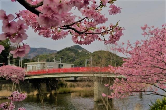2017年 河津町さくら祭り 河津川川畔の桜(1)