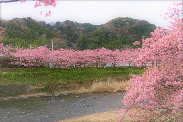 2017年 河津町さくら祭り 河津川川畔の桜(5)