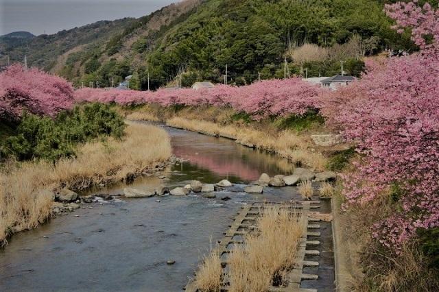 2017年 河津町さくら祭り 河津川川畔の桜(6)