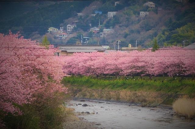 2017年 河津町さくら祭り 河津川川畔の桜(11)