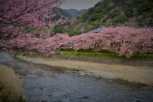2017年 河津町さくら祭り 河津川川畔の桜(13)