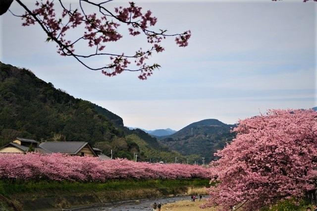 2017年 河津町さくら祭り 河津川川畔の桜(18)