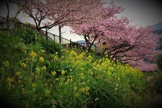 2017河津 河津桜と菜の花(7)