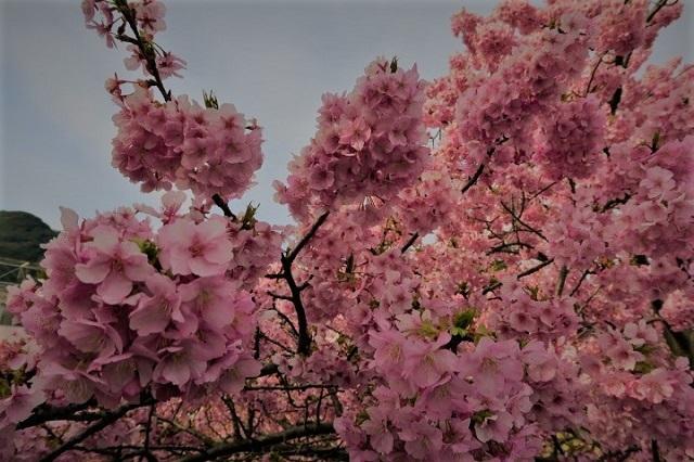 2017河津 河津桜のアップ写真(1)