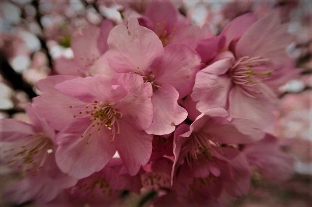 2017河津 河津桜のアップ写真(3)