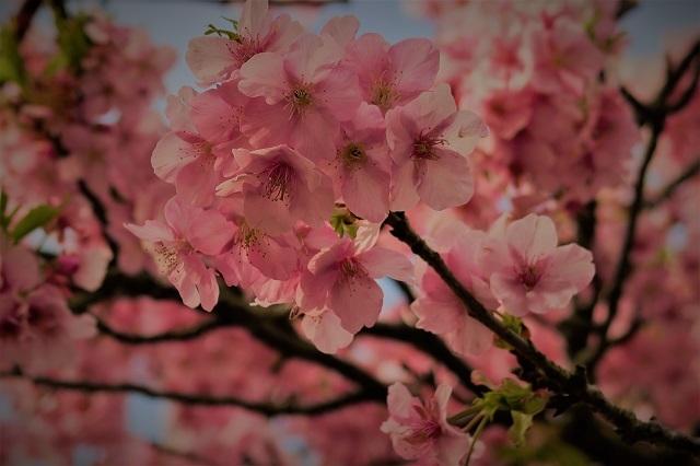 2017河津 河津桜のアップ写真(4)
