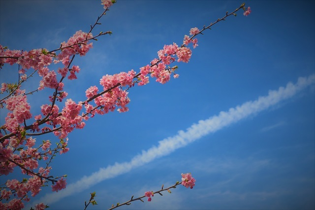 2017河津 河津桜のアップ写真(5)