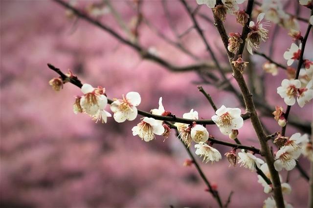 2017河津 河津桜と梅の花(1)