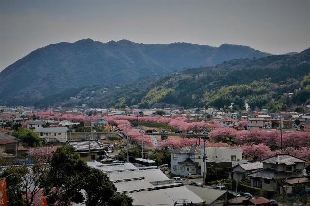 2017河津桜 花見おろし台からの風景(1)