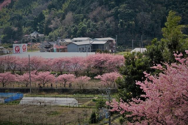 2017河津桜 花見おろし台からの風景(2)