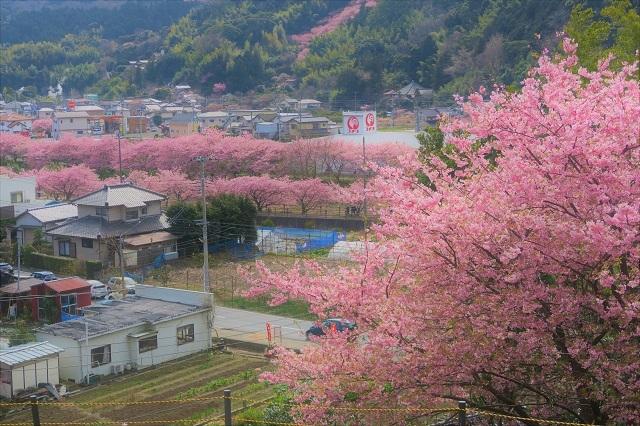 2017河津桜 花見おろし台からの風景(3)