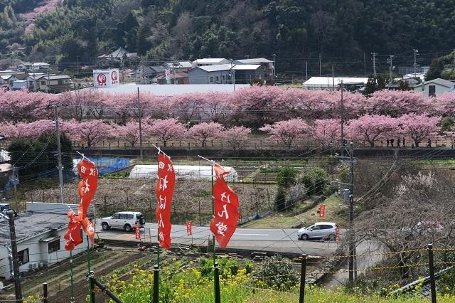 2017河津桜 花見おろし台からの風景(4)